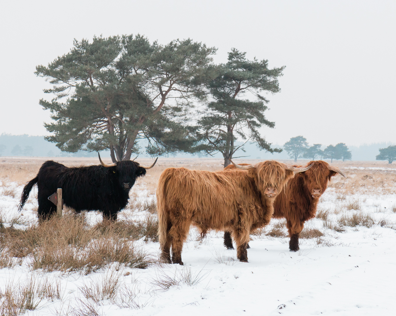 Highlanders in het bos